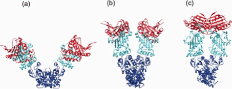 HSP90 Structure - Ribbon and tube representation of the open (a), partially closed (b) and closed (c) conformation of Hsp90 dimers.