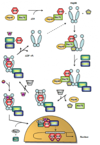 HSP90 Function - ATPase-driven steroid hormone receptor activation cycle